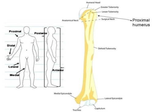 Proximan and Distal