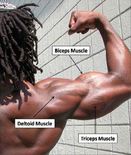 biceps1-web